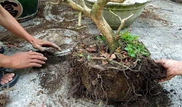 Hướng dẫn cách cứu cây mai bị suy