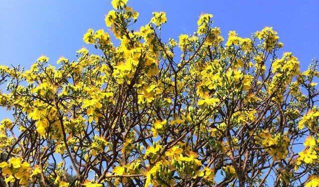 Những cách phòng ngừa cây mai bị suy